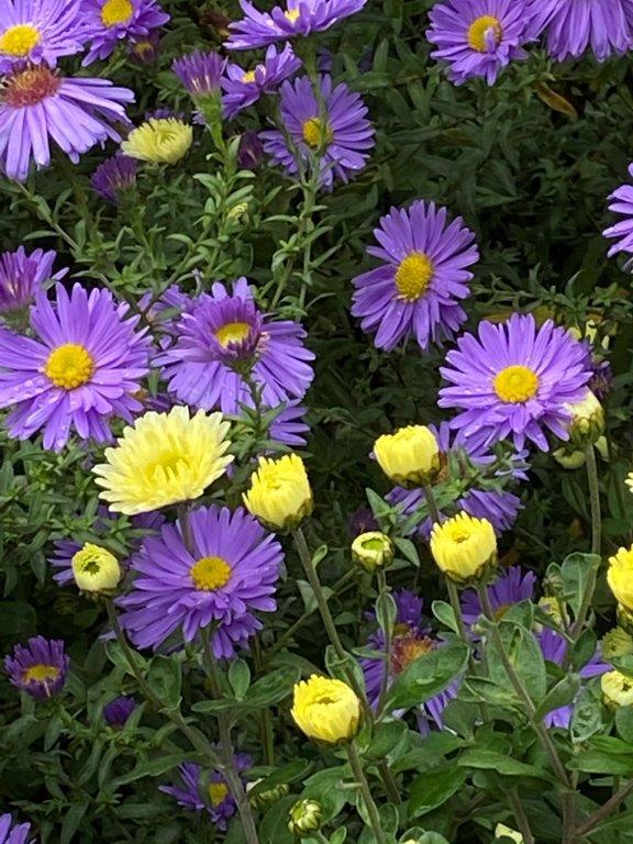 Chysanthemum 'Poesie' © Isabelle Van Groeningen
