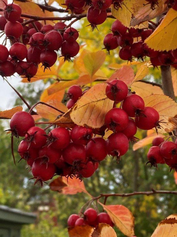Crataeugus prunifolia Frucht © Isabelle Van Groeningen