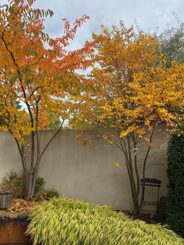 Prunus yedoensis-Cercidiphyllum japonicum © Isabelle Van Groeningen