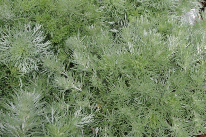Artemisia schmidtiana 'Nana' © Isabelle Van Groeningen
