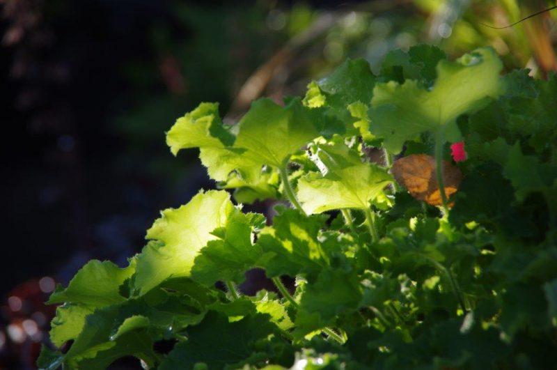 Kübelbepflanzung - Heuchera 'Rex Lime' © Isabelle Van Groeningen