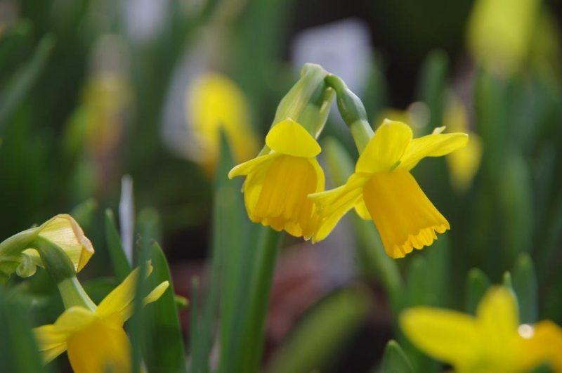 Narcissus 'Tete-a-Tete' © Isabelle Van Groeningen