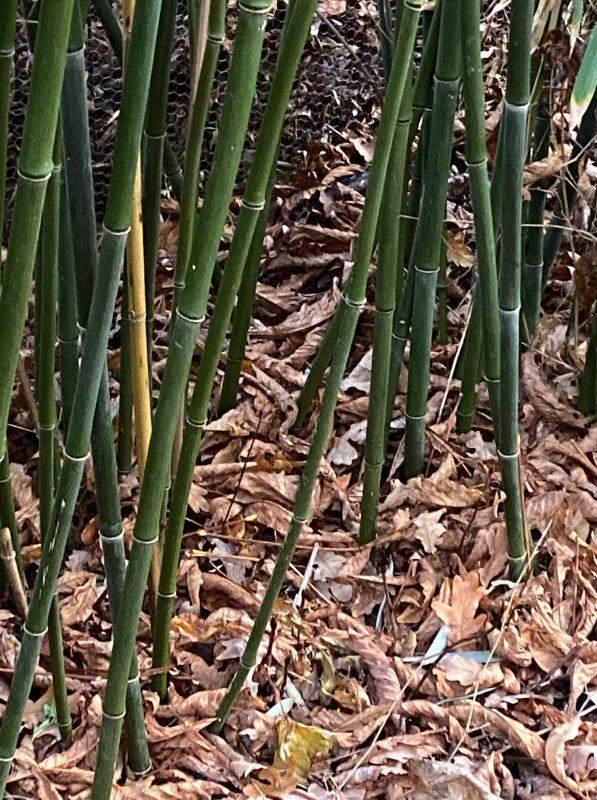 Am Fuß des Bambus eine dicke Laubschicht packen als Bodenverbesserung © Isabelle Van Groeningen