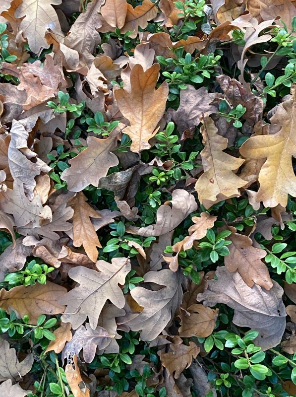 Laub - Blätter aus Immergrüne Gehölze zupfen