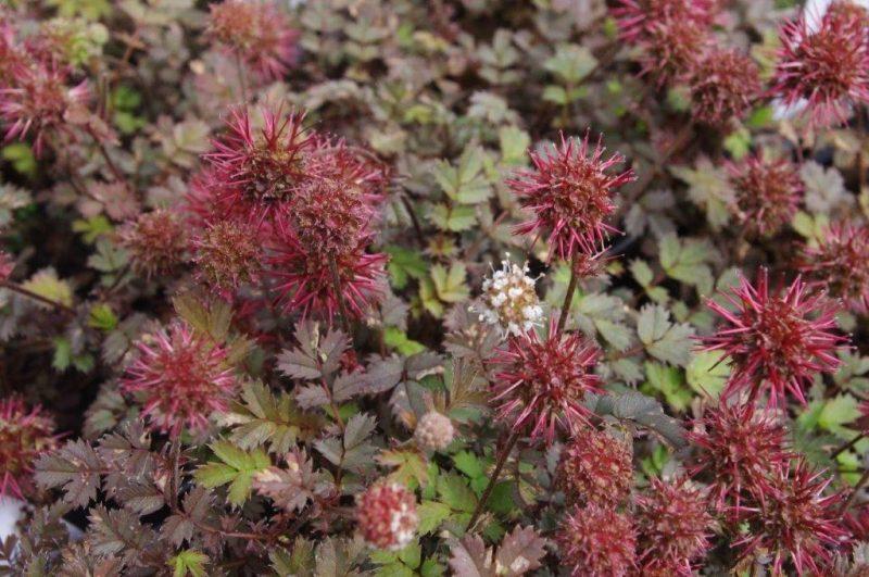 Samen - Acaena microphylla 'Kupferteppich' © Isabelle Van Groeningen