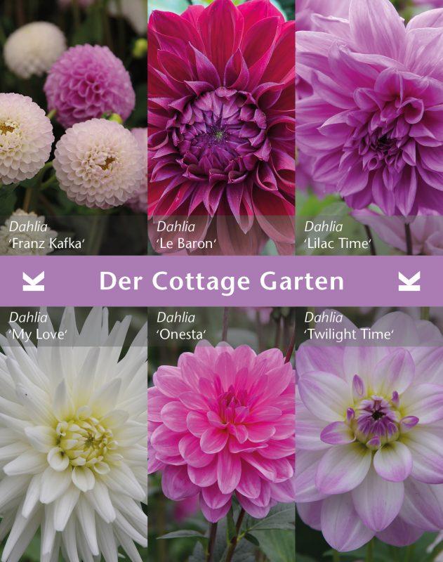 """Dahlien Mischung """"Der Cottage Garten"""""""
