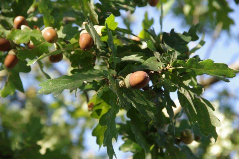Quercus robur © Isabelle Van Groeningen