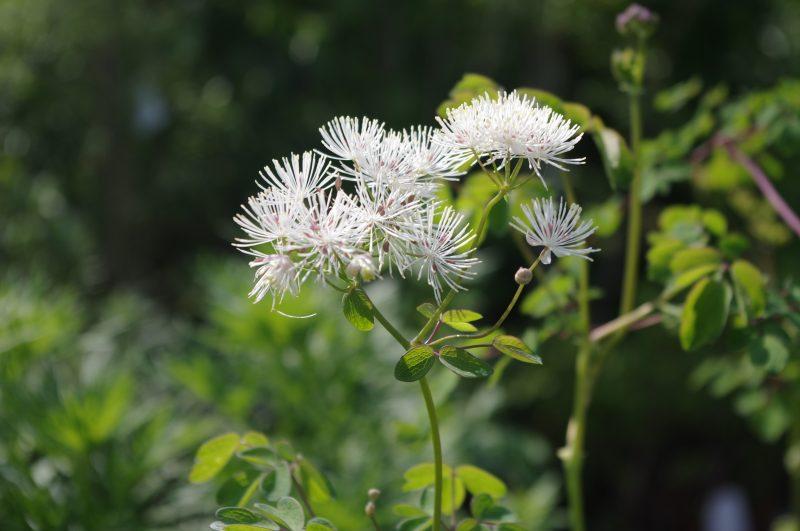 Pflanzen Sammeln - Thalictrum aquilegifolium 'Album' © Isabelle Van Groeningen