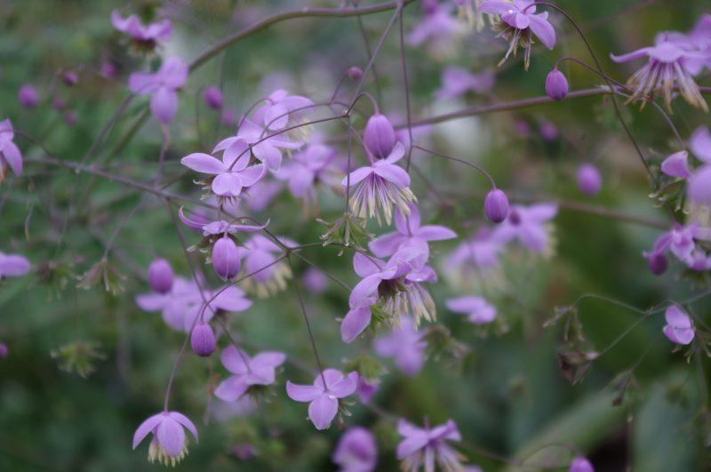 Pflanzen Sammeln - Thalictrum delavayi © Isabelle Van Groeningen