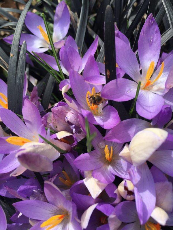 Nachhaltiges Gärtnern - Frühenarungsquelle Bienen © Isabelle Van Groeningen