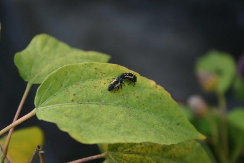 Nachhaltiges Gärtnern - Nützlinge Marienkäferlarve © Isabelle Van Groeningen