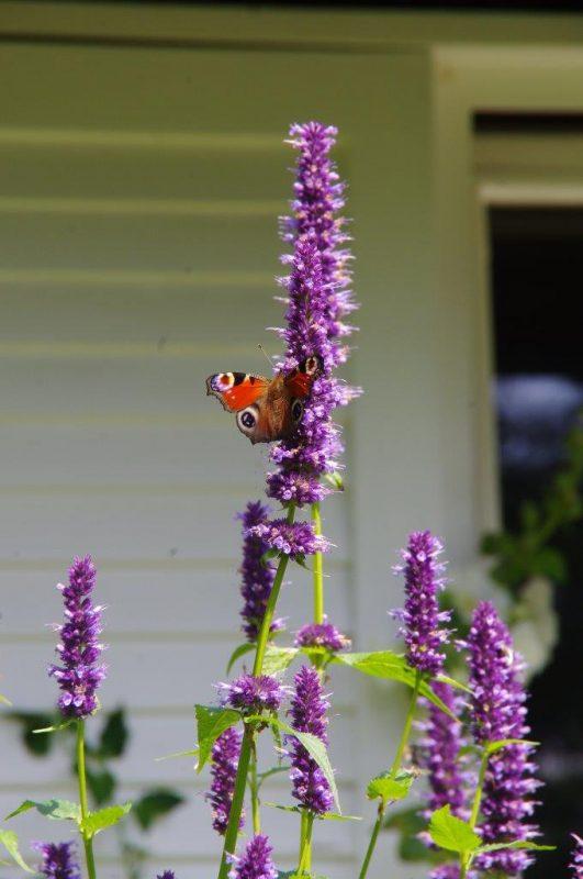 Nachhaltiges Gärtnern - Was für Schmetterlinge © Isabelle Van Groeningen