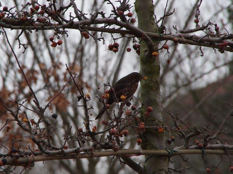 Vögel - Amsel im Zierapfelspalier © Isabelle Van Groeningen