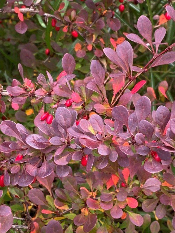 Vögel im Garten - Berberis thunbergii 'Atropurpurea' © Isabelle Van Groeningen
