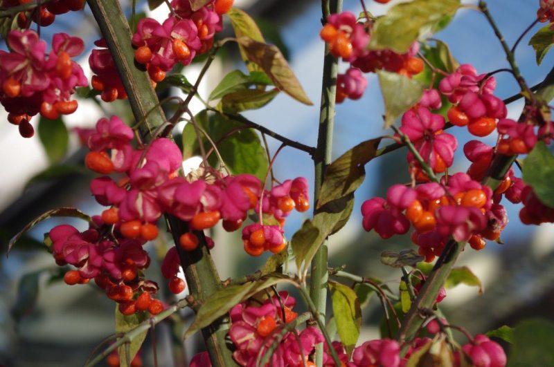Vögel im Garten Euonymus europaeus © Isabelle Van Groeningen