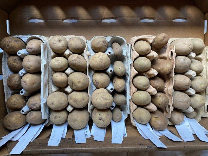 Ostern - Kartoffel Vortreiben © Isabelle Van Groeningen