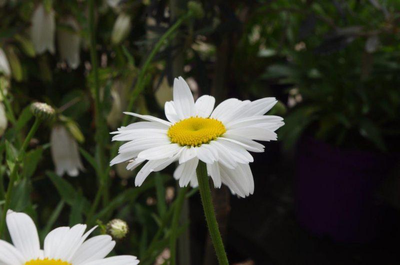 Jahreszeit - Leucanthemum superbum 'Gruppenstolz' © Isabelle Van Groeningen