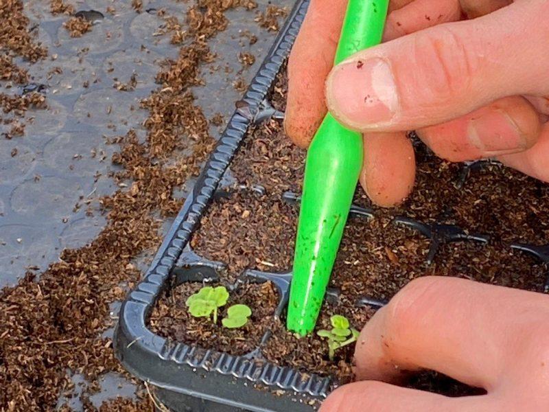 Saatgut - Pickieren der ersten Sämlinge © Isabelle Van Groeningen
