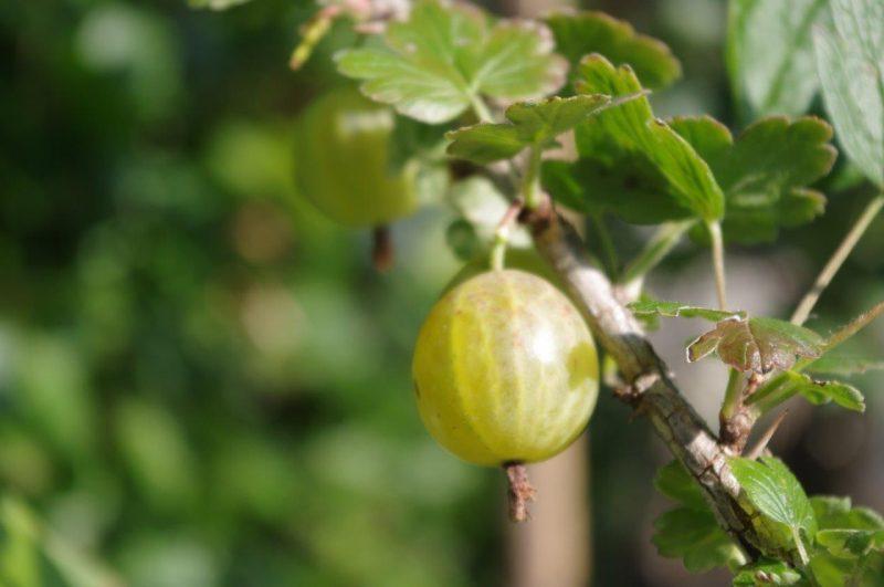 Beerenobst Ribes Uva-crispa 'Resistenta' © Isabelle Van Groeningen