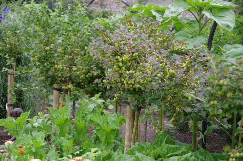 Beerenobst - Stachelbeer Hochstamm © Isabelle Van Groeningen