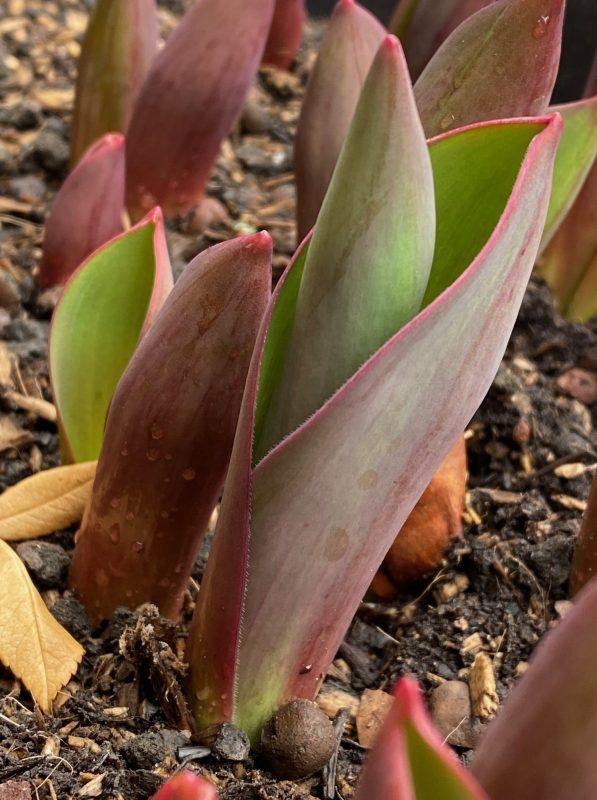 Tulipa 'Pink Impression Austrieb © Isabelle Van Groeningen