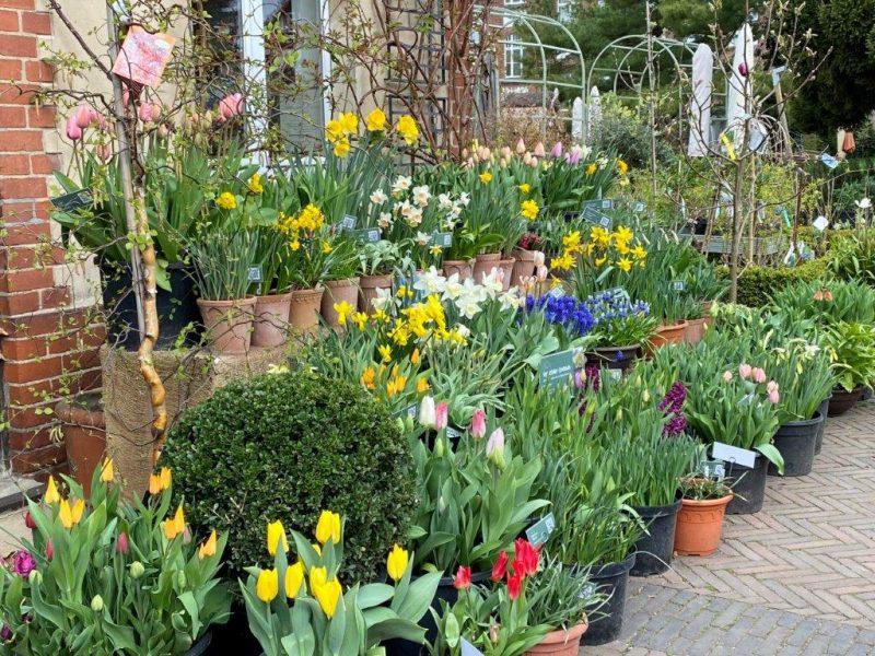 Tulpen - Unsere Zwiebelsichtung kommt in Fahrt © Isabelle Van Groeningen