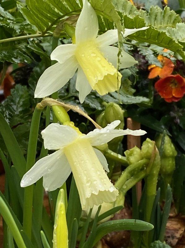 Narzissen - Narcissus 'Lieke' © Isabelle Van Groeningen