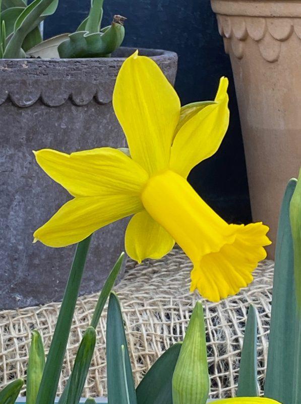 Narzissen - Narcissus 'Peeping Tom' © Isabelle Van Groeningen