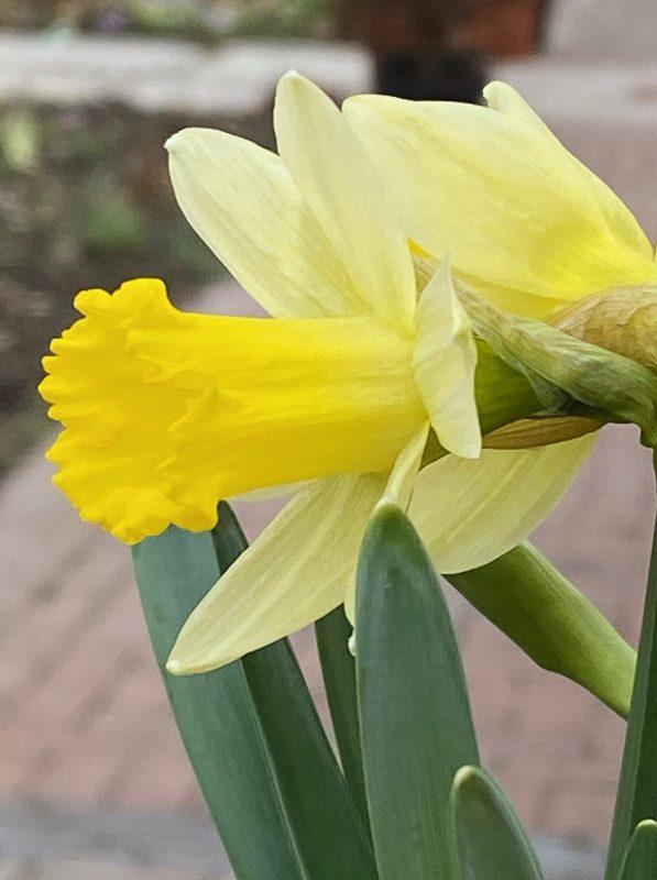 Narzissen - Narcissus 'Topolino' © Isabelle Van Groeningen