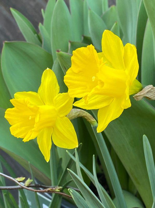 Narzissen - Narcissus pseudonarcissus ssp. Obvallaris © Isabelle Van Groeningen