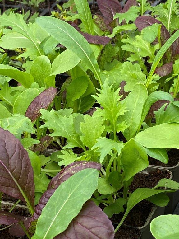 Salat im Gewächshaus - Pflücksalat © Isabelle Van Groeningen