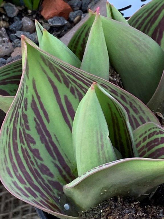 Tulpen - Tulipa 'Show Winner' blatt 11