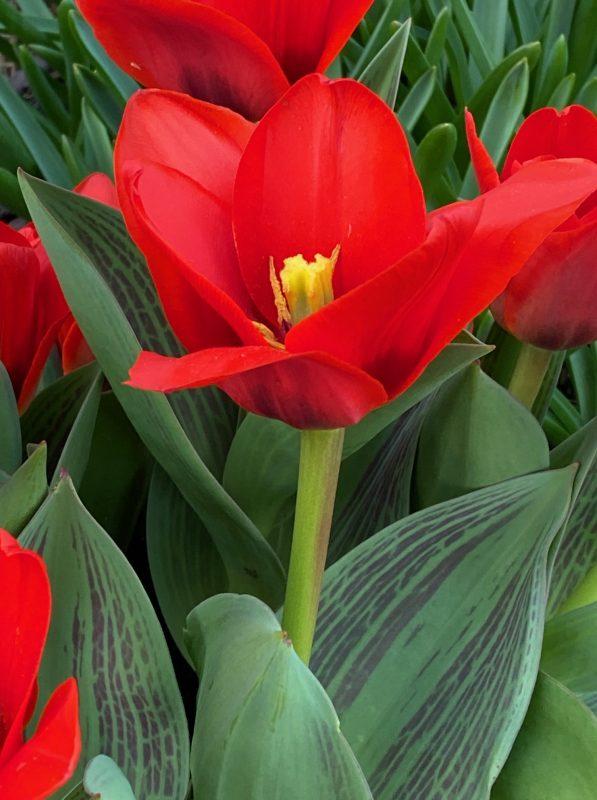 Tulipa 'Show Winner' © Isabelle Van Groeningen