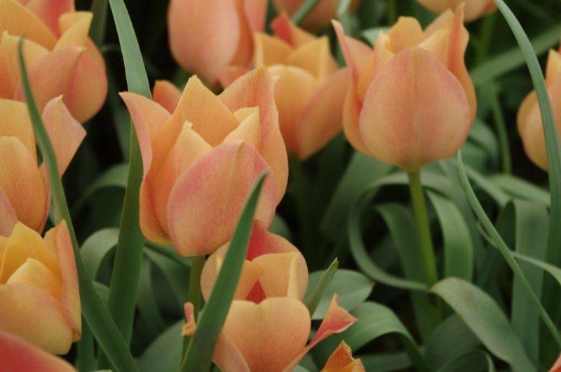 Tulipa batalinii 'Bronze Charm'