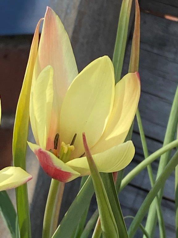 Tulipa clusiana 'Cxnthia' 2