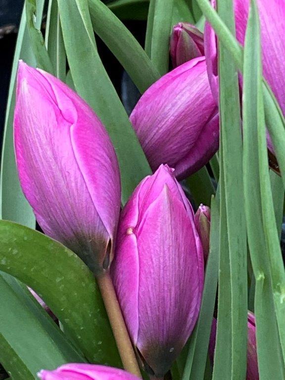 Tulipa humilis 'Helene'
