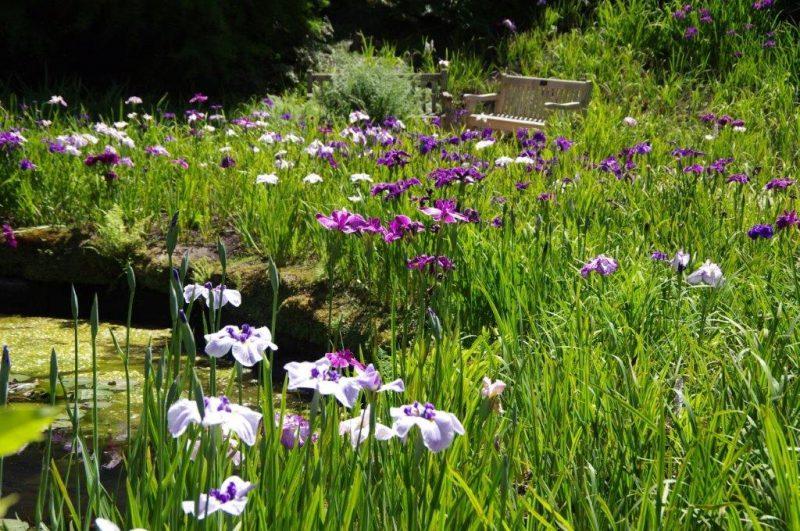 Iris ensata in Wakehurst Place © Isabelle Van Groeningen