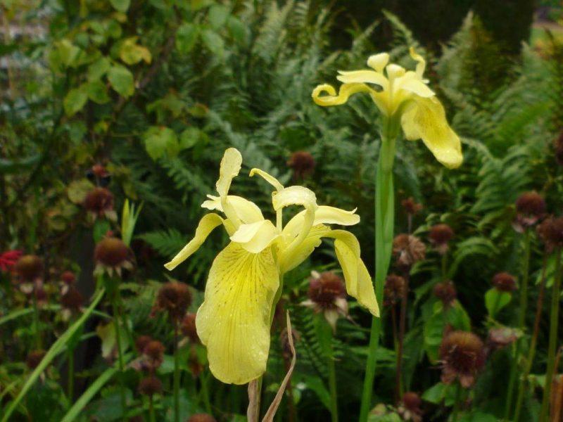 Iris pseudacorus © Isabelle Van Groeningen