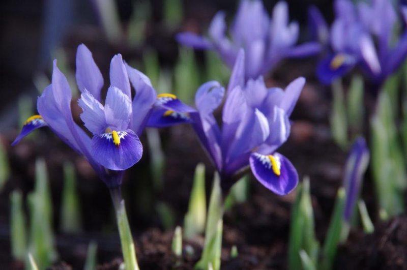 Iris reticulata 'Harmony' © Isabelle Van Groeningen