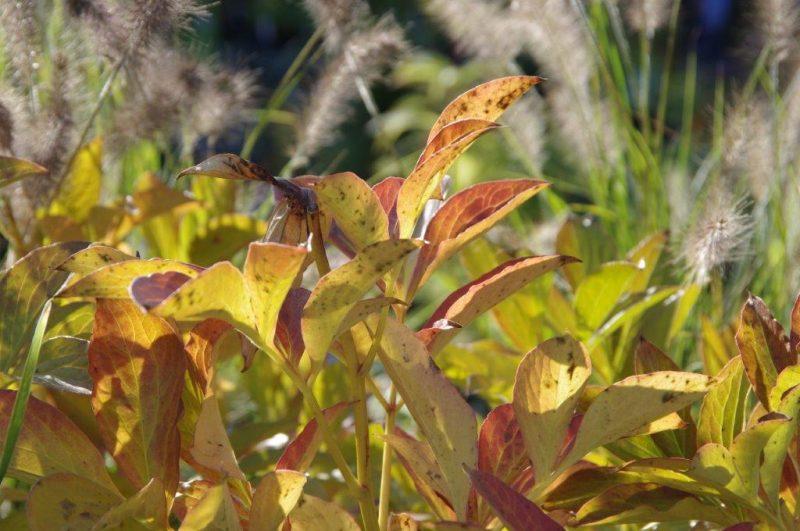 Paeonia lactiflora 'Jan Van Leeuwen' © Isabelle Van Groeningen