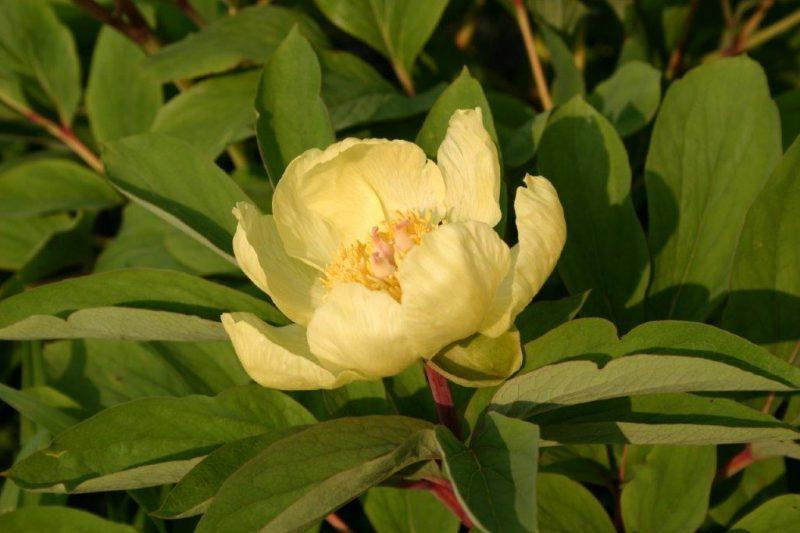 Paeonia mlokosewitchii flower © Isabelle Van Groeningen